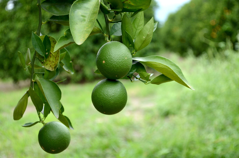 Agroa estas son las plagas que afectan la fruticultura for Que son cultivos asociados