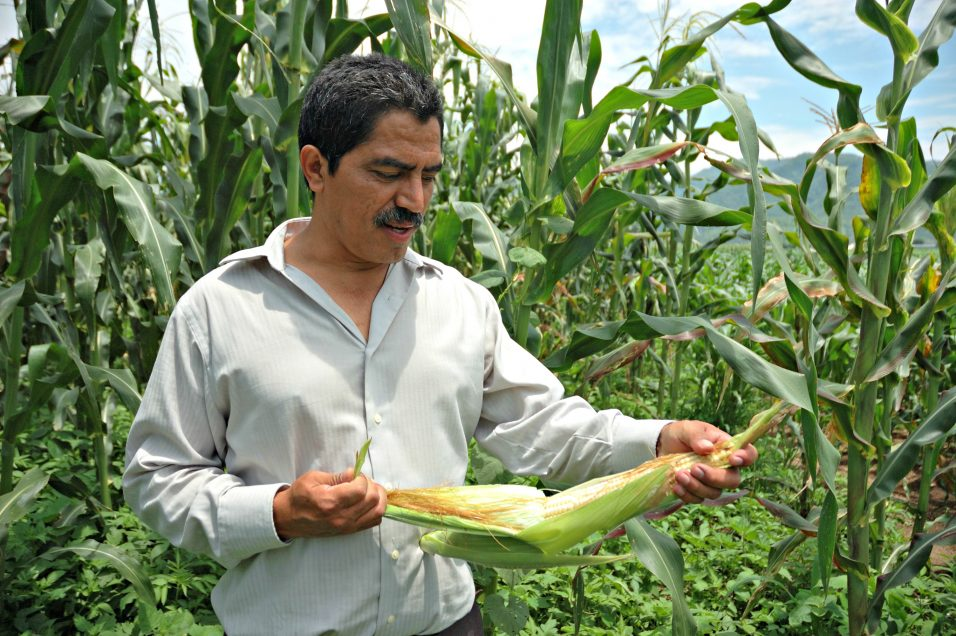 """Mexican scientist J. Arahón Hernández Guzmán examines an maize ear on his experimental plot of the Jala landrace. This maize, native to Jala, in the state of Nayarit, on the Pacific coast of Mexico, is famed for producing the world's largest ears. It is valued locally not only for its record-breaking qualities but for use in traditional dishes. However, modern improved varieties yield more and have largely displaced landraces, especially for sale.  Because they are often grown close together, the Jala maize has outcrossed with improved varieties, meaning that its height, ear length, ear thickness, and growing season have all diminished over the last century. In 1907 a visiting scientist recorded ears 60 cm long, whereas in 2007 the longest ear measured 36 cm. Hernández, a research professor at the Colegio de Postgraduados, a Mexican agricultural institution, is working to recover these lost traits.  In 2007, when this photo was taken, Hernández was growing Jala landrace seed collected from 22 farmers to recombine the genetic variation. The seed was to be redistributed to interested farmers, safeguarded in CIMMYT's germplasm bank, and re-sown next year to begin selection for longer ears. He was also growing out Jala landrace samples from CIMMYT's bank for selection and combination with current landrace materials. In addition to recovery and conservation, Hernández aims to develop varieties with added value; for example, dual-purpose maize providing good grain and husk yields, as well as specialized varieties for green ears or pozole.   Maize is an essential part of Jala's culture, and each year the town enjoys a two-week Feria del Elote, or maize ear festival. Hernández helps to organize an annual competition for the longest maize ear, established as part of the festival in 1981, in order to celebrate Jala's unique maize and to encourage farmers to keep growing it. """"As a genetic resource, it's unique in the world,"""" says Hernández. """"Not only that: if we lose this maiz"""