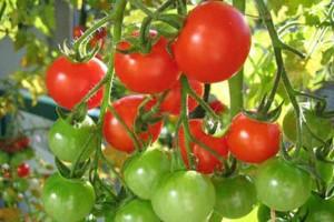 Vigilarán a Estados Unidos al revisar tomate mexicano