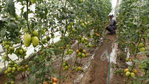 Agricultura protegida, predilecta para exportar