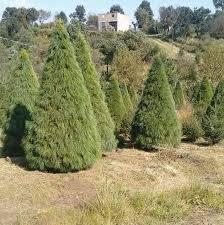 En estas fiestas decembrinas adquiere tu árbol navideño con productores nacionales.