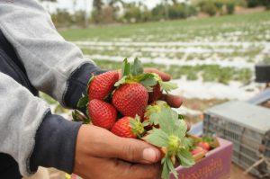 Arranca el cultivo de la fresa en la región norte de Sinaloa
