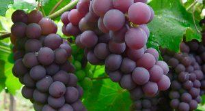Datos sobre las uvas