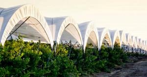 Jalisco triplico su producción de Berries
