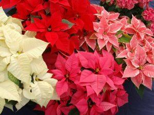 Cuetlaxóchitl, flor de fuego, flor de cuero, flor de nochebuena